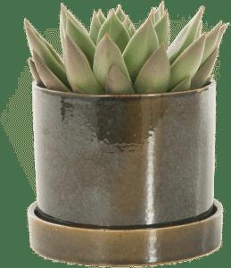 cadeau voor een vrouw van 85 jaar - mooi vetplantje